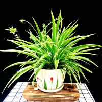 金边吊兰盆栽兰花卉万年青植物室内客厅办公室净化空气盆景