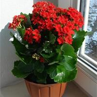 长寿花盆栽重瓣大花苗带花苞种花卉观花植物室内绿植四季开花