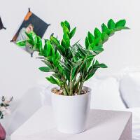 盆栽花卉植物室内花好养办公室钱串子招财绿植园艺水培植物