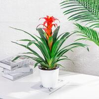 盆栽花卉植物室内花好养办公室绿植园艺小红星空气凤梨