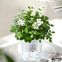 九里香盆栽室内植物浓香四季客厅净化空气水培花卉绿植