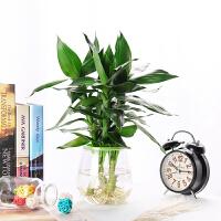 植物转运竹室内开运竹绿植水养花卉盆栽节节高升观音竹