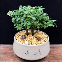 盆景植物微型小盆栽室内办公室茶几净化空气趣味花卉绿植