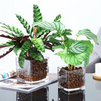 水培植物猫眼竹芋盆栽孔雀竹芋室内水养玻璃透明花卉四季好养桌面