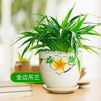 金心金边吊兰好养花卉盆栽净化空气水培土养室内桌面绿植