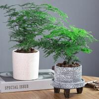 文竹盆景植物室内花卉小盆栽水培养办公室桌面绿植四季常青