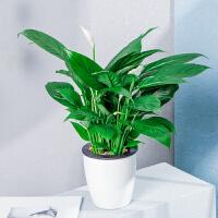 红掌盆栽花卉室内花四季常绿好养白掌办公室桌面绿植园艺水培植物