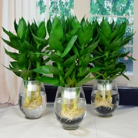 观音竹盆栽富贵竹植物室内防辐射净化空气常青盆栽水培绿植