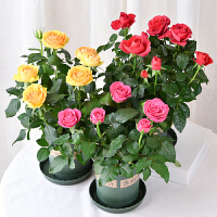 四季开花玫瑰花盆栽植物月季花苗室内果汁阳台带花带花苞发货好养