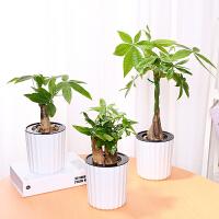 盆栽小盆景办公室绿植植物室内花卉客厅盆栽绿植