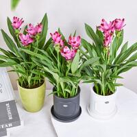 姜荷花盆栽夏季耐热室内阳台办公桌花卉绿植带花带花苞发货好养