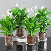 白掌盆栽室内花植物办公室桌面水养净化空气花卉四季