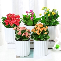 长寿花盆栽重瓣花卉观花植物办公室内花净化空气四季开花不断绿植