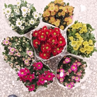 菊花盆栽雏菊波斯菊带盆栽好办公桌室内外带花卉绿植女王美人菊花